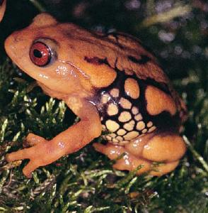 Resplendent Shrubfrog In Western Ghats