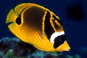 Raccoon Butterfly Fish