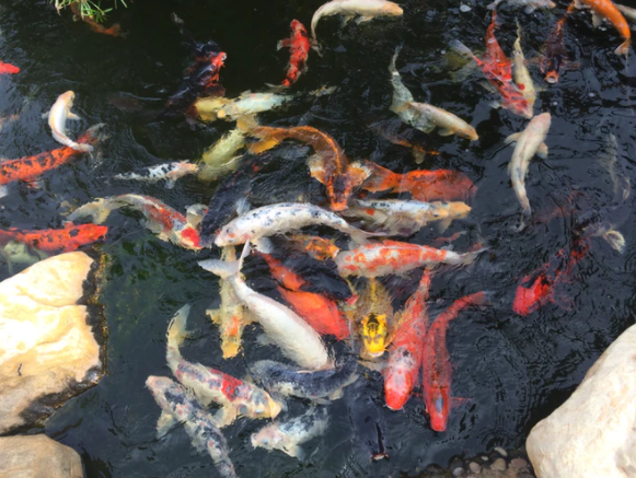 How Much Should I Feed Koi Fish